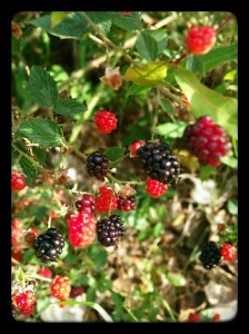 Blackberry or dewberry?
